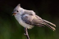 Black Crested Titmouse, Juvenile