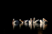 White Pelicans Feeding