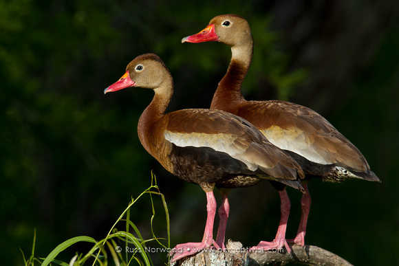 Black Bellied Whistling Ducks