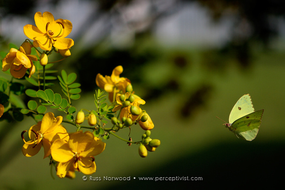 Sulfur Butterfly on Cassia