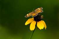 Pearl Crescent and Native Wild Bee on Roughleaf Cone Flower