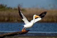 White Pelican Liftoff