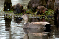 Gadwall Female