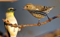 Pine Siskin Lecturing American Goldfinch