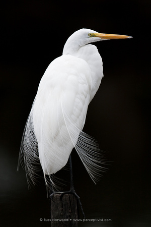 Great Egret Posed