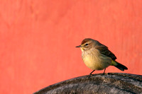 Palm Warbler, Tired