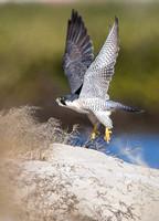 Peregrine Falcon Takeoff
