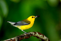 Prothonotary Warbler with Wild Cherry