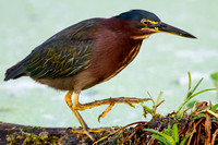 Green Heron Stepping Out