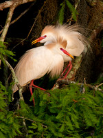 Courting Cattle Egrets