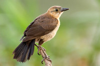 Grackle Juvenile