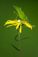 Katydid on Phoebanthus
