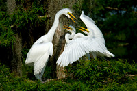 Great Egret Nest Conflict
