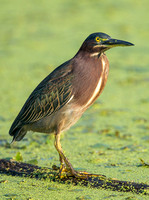 Green Heron Glare