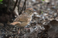 Rufous Crowned Sparrow