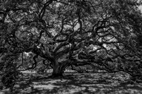 Live Oak at Old State Capitol