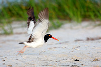 American Oystercatcher Takeoff