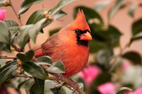 Male Northern Cardinal on Camelia