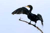 Double Crested Cormorant Drying Feathers