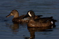 Blue Winged Teal Mated Pair