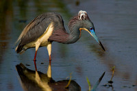 Tricolored Heron Hunting