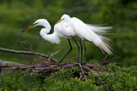 Nesting Great Egrets at Lake Martin