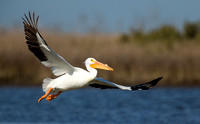 White Pelican Flyby