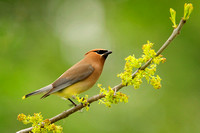 Cedar Waxwing on Ash