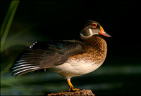 Wood Duck Profile