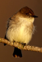 Chilly Eastern Phoebe
