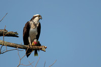 Osprey with Bluegill
