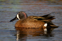 Blue Winged Teal Male