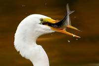 Great Egret with Large Shad
