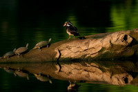 Wood Duck and Friends