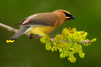 Cedar Waxwing Eating Ash Tree Flowers