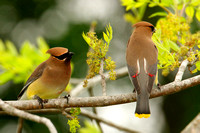 Cedar Waxwing on Ash Tree