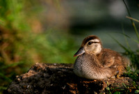 Wood Duck Hatchling