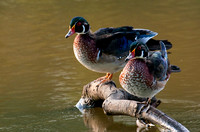 Wood Duck Males