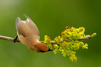 Cedar Waxwing on Ash Tree Flowers