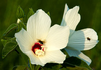 Marsh Mallow and Bees
