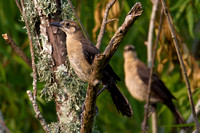 Juvenile Grackles