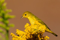 Migrating Yellow Warbler on Goldenrod