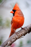 Northern Cardinal, Male