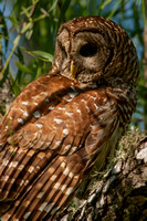 Barred Owl with Fire Ant