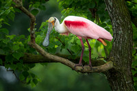 Roseate Spoonbill in Tallow Tree